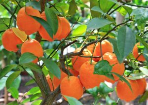branch of orange tree with many oranges on it