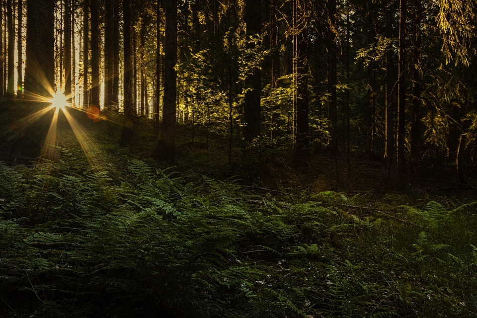black forest, sun shining through the trees
