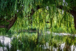 willow tree branch with leaves on a river