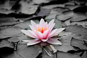 pink water lily, water, leaves